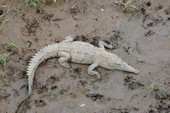 crocodile sauvage Images stock