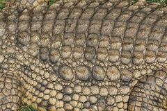 Crocodile scale detail. Nice detailed shot of Nile crocodile in Africa showing texture, skin and scale detail royalty free stock photography