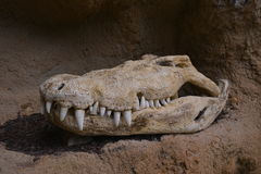 Crocodile scull Stock Photography