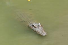 Crocodile se flottant dans l'eau Photo libre de droits