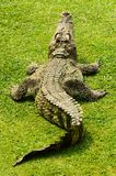 Crocodile. Images stock