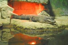 Crocodile se trouvant sur les roches dans le zoo Photos stock