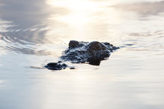 Crocodile in Shallows Stock Photos