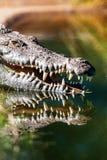 Crocodile With Sharp Teeth Stock Image