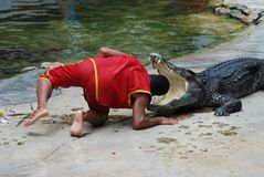 Crocodile show. Exciting show at crocodile farm in Thailand royalty free stock images