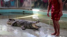 Crocodile show in Pattaya, Thailand Royalty Free Stock Images