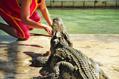 Crocodile show in Thailand. Stock Photography