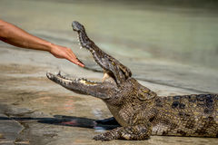 Crocodile. The crocodile show in Thailand Stock Image