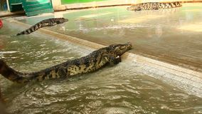 Crocodile show in thailand stock footage