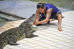 Crocodile show in Thailand Stock Photos