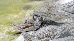 Crocodile stock video