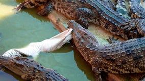 Crocodile. Siamese Freshwater Crocodile from Samut Prakan Province thailand Royalty Free Stock Photo