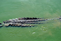 Crocodile. Siamese Freshwater Crocodile from Samut Prakan Province thailand Royalty Free Stock Images