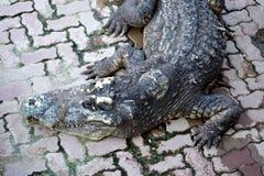 Crocodile. Siamese Freshwater Crocodile from Samut Prakan Province thailand Royalty Free Stock Photos