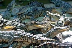 Crocodile. Siamese Freshwater Crocodile from Samut Prakan Province thailand Stock Photo