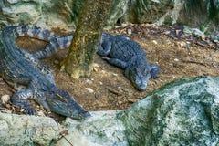 Crocodile siamois image stock