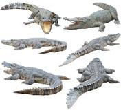 Crocodile siamois d'isolement sur le fond blanc Image stock