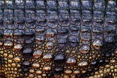 Crocodile siamois, siamensis de Crocodylus, indigène d'eau douce de reptile vers l'Indonésie Détail en gros plan de peau d'animal images libres de droits