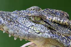 Crocodile Side View Royalty Free Stock Photography
