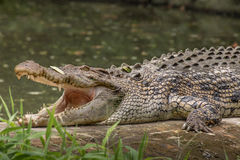 Crocodile side view with jaws open Royalty Free Stock Photos