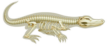 Crocodile skeletal system Stock Photos