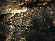 Crocodile skin Royalty Free Stock Image