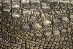 Crocodile skin. Texture background Stock Photography