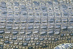 Crocodile Skin Royalty Free Stock Photo