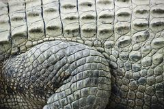 Crocodile skin. Royalty Free Stock Image