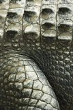 Crocodile skin. Stock Photography