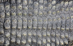 Crocodile skin as background Royalty Free Stock Photos
