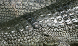 Crocodile skin background. A close-up shot from a crocodile park, india Stock Images