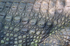 Crocodile skin close up image. Royalty Free Stock Image