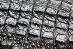 Crocodile skin Stock Images