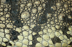 Free Crocodile Skin Texture Royalty Free Stock Images - 13429199