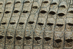 Crocodile skin texture. Adult nile crocodile, Kwazulu Natal, South Africa Stock Images
