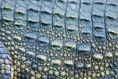Crocodile skin texture Stock Photography