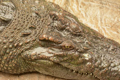Crocodile skin texture,animal Royalty Free Stock Images