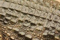 Crocodile skin texture,animal Stock Photography