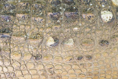 Crocodile skin texture Royalty Free Stock Images