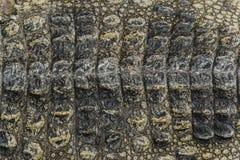 Crocodile skin texture background. Close up crocodile skin texture background Stock Photography