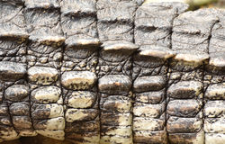 Crocodile skin texture. Close up shot Stock Image
