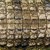Crocodile skin texture Stock Photo
