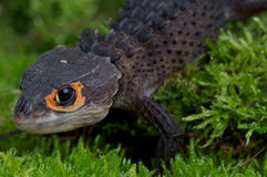 Crocodile skink. The crocodile skink,Troblinotus gracilis, is an semi-aquatic skink species from Indonesia with a distinctive orange eye Stock Photo