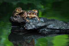 Crocodile skink, animal, reptile, three Royalty Free Stock Image