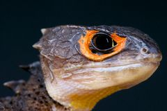 Crocodile skink / Triblonotus gracilis Stock Photo