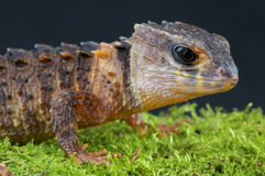 Crocodile skink / Tribolonotus novaeguineae Stock Photo