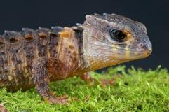 Crocodile skink / Tribolonotus novaeguineae. The crocodile skink is native to the rain forests of Papua New Guinea and Irian Jaya. These lizards are found near Stock Photo