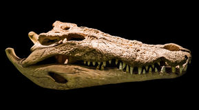 Crocodile skull. The skull of an adult crocodile Stock Photo