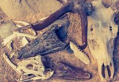 Crocodile skull for background. Vintage tone image of crocodile skull for background texture stock photography